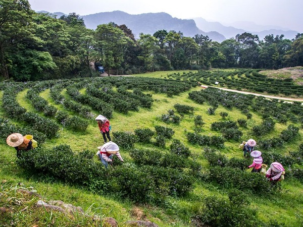 台灣農林熊空茶園-3